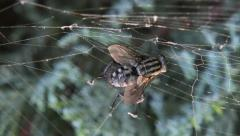 Fly caught in a spiders web Stock Footage