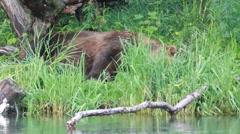 Bear sleeping Stock Footage