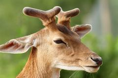 Fallow deer stag ( dama dama )  with growing antlers, portrait Stock Photos