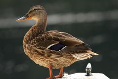 Female mallard duck ( anas platyrhynchos ) standing on a boat Stock Photos