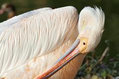 great pelican ( pelecanus onocrotalus ) preening its feathers - stock photo