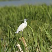 Little egret ( egretta garzetta ) standing on a stump amongst reeds Stock Photos