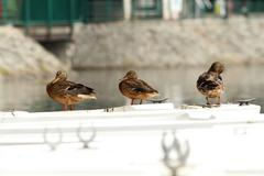 Mallard ducks, females ( anas platyrhynchos ) standing  on a white  boat Stock Photos