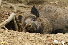 Wild boar ( sus scrofa ) resting at the zoo Kuvituskuvat