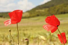 Red wild beautiful poppies ( papaver rhoeas ) Stock Photos