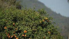 bird flying from a mandarin orange tree - stock footage