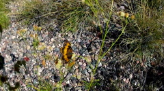 Colorful Butterfly Resting In Grassy Area Of Arizona Desert Stock Footage