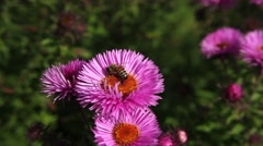Bee on Michaelmas daisy. Stock Footage