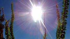 Ocotillo Plant In Desert Tilt Up To Sun- Sedona AZ Stock Footage
