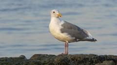 Seagulls near Juan de Fuca Strait in Victoria, British Columbia Stock Footage