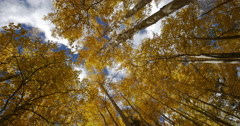 Golden Yellow Fall Autumn Leaves on an Aspen Tree in the Mountains View Up 4K - stock footage