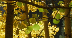 Golden Yellow Fall Autumn Leaves on an Aspen Tree in the Mountains Thru Trees 4K Stock Footage