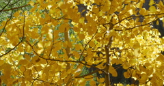Golden Yellow Fall Autumn Leaves on an Aspen Tree in the Mountains 4K - stock footage