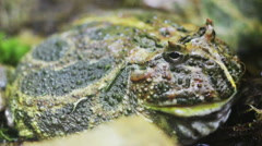 Argentine horned frog Stock Footage