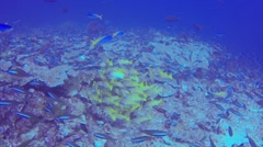 Schools of moorish idol and bi color blue and yellow fish Stock Footage