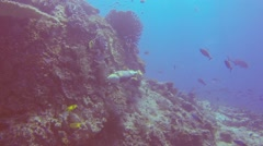 Close approach to Napoleon Wrasse fish at a coral reef Stock Footage