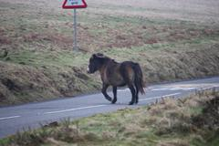 exmoor pony out in the wild - stock photo