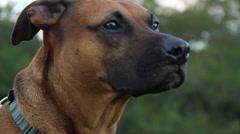 Dog face panting Stock Footage