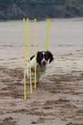 Working type english springer spaniel pet gundog agility weaving on a sandy b Stock Photos