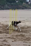 Working type english springer spaniel pet gundog agility weaving on a sandy b Stock Photos