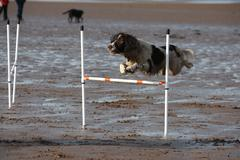 A working type english springer spaniel pet gundog doing agility jumps on a s Stock Photos