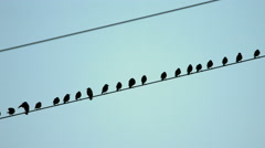 Crows on a power line - stock footage