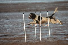a working type english springer spaniel pet gundog doing agility jumps on a s - stock photo