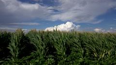 4K Corn Field Blows In Wind Stock Footage