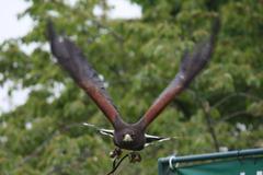 Fantastic brown hawk raptor Stock Photos