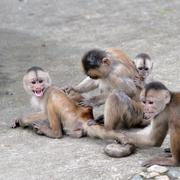 Happy family (in monkey's conception) in misahualli, amazon, ecuador Stock Photos