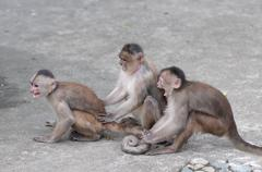 happy family (in monkey's conception) in misahualli, amazon, ecuador - stock photo