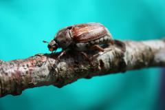 a magnificent cockchafer insect beetle - stock photo