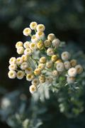 Chamomile, with frost, high angle view - stock photo