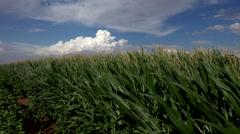 4K Green Lush Farm Field Blows In Wind Beneath Puffy Cloudscape Stock Footage