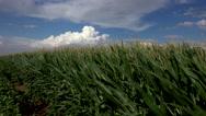 Stock Video Footage of 4K Green Lush Farm Field Blows In Wind Beneath Puffy Cloudscape
