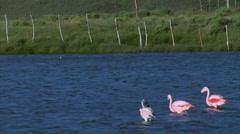 RA Wildlife 02b - Flamingos in Lake Stock Footage