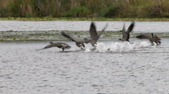 Canada Geese, Geese, Fly, Flying, Birds, 4K Stock Footage