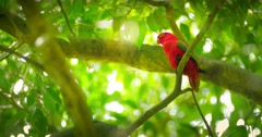 Tropical forest paradise wild life. Red parrot bird on tree branches 4k video - stock footage