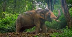 Elephant in jungle rain forest in Thailand 4k video Stock Footage