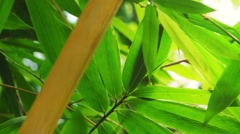 Green bamboo leaves in  tropical forest lush. Close up video Stock Footage