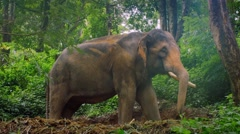Elephant in jungle rain forest in Thailand Stock Footage