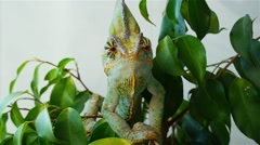Stock Video Footage of Green chameleon
