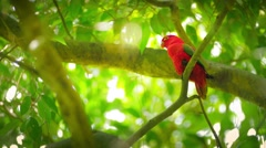 Tropical forest paradise wild life. Red parrot bird on tree branches video Stock Footage