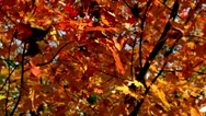 Stock Video Footage of Falling Leaves Autumn Slow Motion