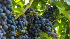 Grapes in the vineyard ...healthy fruit for making vine Stock Footage