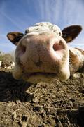 Stock Photo of Cow's snout, close-up