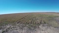 Corn field feild over agriculture farm Stock Footage