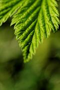 close up photo of a green hairy leaf - stock photo