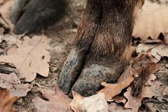 Photo of a boar hoof on the autumn leaves Stock Photos
