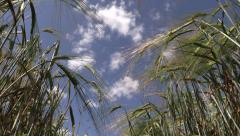 Barley plants ears move in wind on blue cloudy sky background Stock Footage